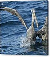 Pelican 2 Acrylic Print