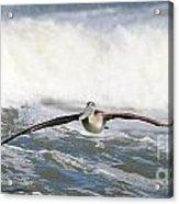 Pelican 4057 Acrylic Print