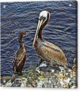 Pelican And American Black Duck Acrylic Print