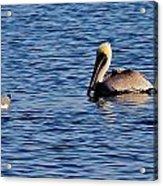 Pelican And Gull Acrylic Print