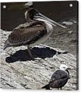 Pelican And Gull Acrylic Print