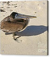 Pelican And His Shadow Acrylic Print