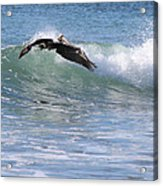 Pelican At Playa Grande Acrylic Print