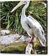 Pelican At Rest Acrylic Print