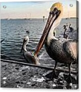 Pelican At The Pier Acrylic Print