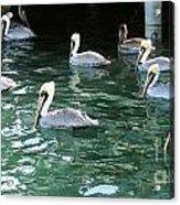Pelican Ballet Acrylic Print by Claudette Bujold-Poirier