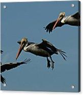 Pelican Collage Acrylic Print