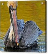 Pelican Acrylic Print