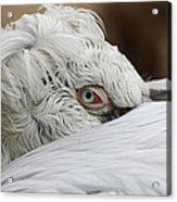 Pelican Eye Acrylic Print