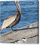 Pelican Eyes Seagull Acrylic Print