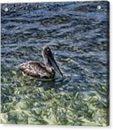 Pelican Floater Acrylic Print