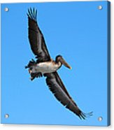 Pelican Flying High Acrylic Print