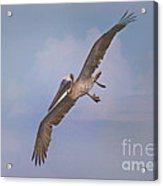 Pelican Grace In Flight Acrylic Print