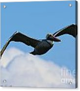 Pelican In Flight I Acrylic Print