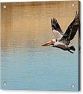 Pelican In Flight Acrylic Print