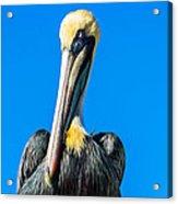 Pelican In Key Largo Acrylic Print