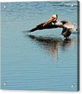 Pelican In Motion Acrylic Print