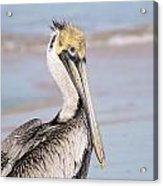 Pelican In Need Acrylic Print