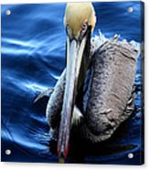 Pelican In The Bay Acrylic Print