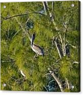 Pelican In The Trees Acrylic Print