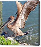 Pelican Jump Acrylic Print
