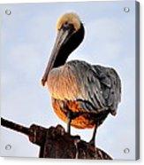 Pelican Looking Back Acrylic Print