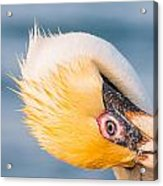 Pelican Looking Upside Down Acrylic Print