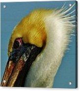 Pelican Mohawk 1/13 Acrylic Print