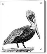 Monterey Pelican Pooping Acrylic Print