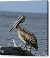 Pelican On Driftwood Acrylic Print