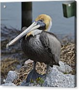 Pelican On Rocks Acrylic Print