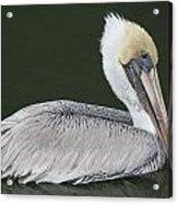 Pelican On The Intercostal Acrylic Print