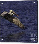 Pelican Over Water Acrylic Print
