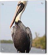 Pelican Pose Acrylic Print by Carol Groenen