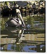 Pelican Reflected Acrylic Print