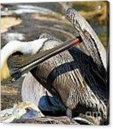 Pelican Scratch Acrylic Print by Adam Jewell