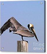 Pelican Stretch Acrylic Print