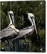 Pelican Threesome Acrylic Print