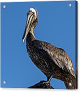 Pelican Watch Acrylic Print