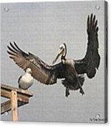Pelican Wins Sea Gull Looses Acrylic Print