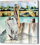Pelican With An Attitude Acrylic Print