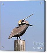 Pelican Yawn Acrylic Print
