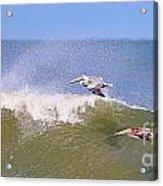 Pelicans 3868 Acrylic Print