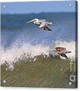 Pelicans 3870 Acrylic Print