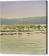 Pelicans At Poddy Shot Acrylic Print