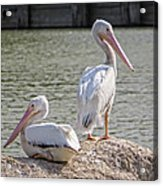 Pelicans By The Pair Acrylic Print