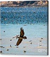 Pelicans Flocking On The Ocean Acrylic Print