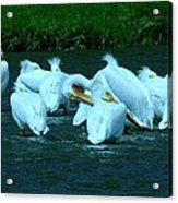Pelicans Hanging Out Acrylic Print