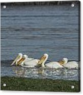 Pelicans In Floodwaters Acrylic Print