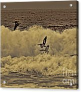 Pelicans In The Surf Acrylic Print
